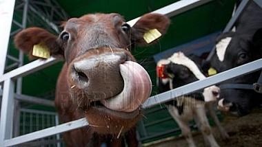 Locuitorii satelor Horeşti şi Zâmbreni din raionul Ialoveni, revoltați că tractoarele unei ferme de vaci care transportă zilnic deşeurile le strică drumurile