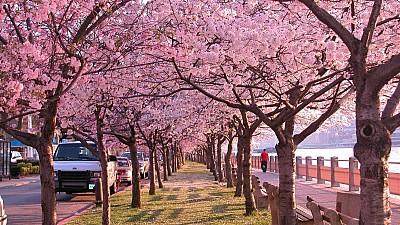 Japonia a înflorit. Cireşii din Ţara Soarelui Răsare au dat în floare