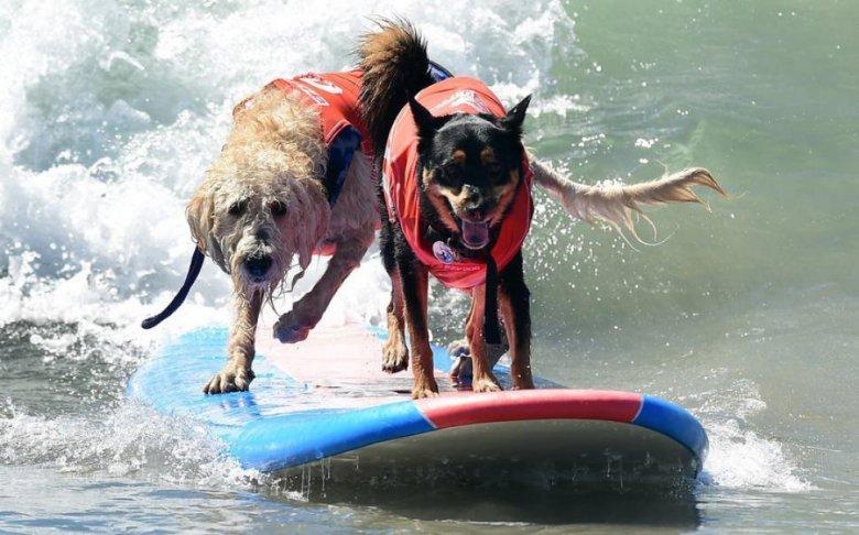Imaginea zilei: Pe o plajă din statul american California câinii fac surfing