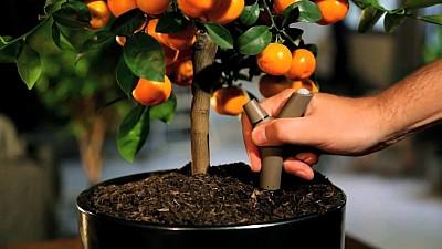 O femeie din Capitală crește copaci de mandarine și lămâi