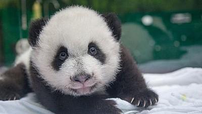 Imaginea zilei: La o grădină zoologică din orașul Paris s-a născut un ursuleț panda