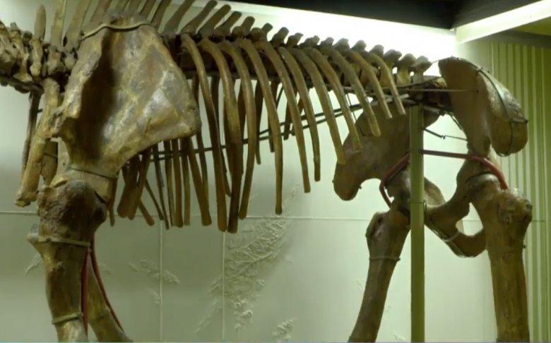 Strămoșul elefantului, dinoteriul, a trăit pe meleagurile noastre. Unde găsim fosilele acestui mamifer