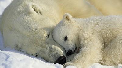 Imaginea zilei: Un pui de urs polar dintr-o grădină zoologică din Germania a ieşit la plimbare pentru prima dată împreună cu mama sa