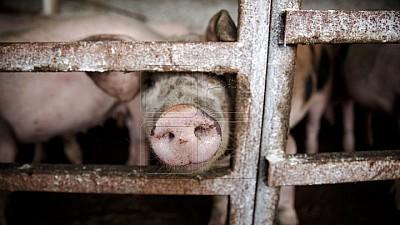 Un nou focar de pesta porcină a fost depistată în satul Tvardiţa, Taraclia