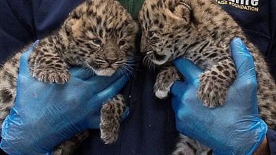 Imaginea zilei: La Grădina Zoologică din Viena au venit pe lume doi leoparzi de rasa Amur
