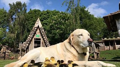 Imaginea zilei: Un câine din Marea Britanie a adoptat nouă rățuște