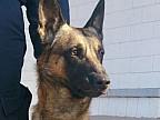 Grom, eroul de la frontieră! Povestea impresionantă a câinelui polițist, care a reţinut un infractor periculos la punctul de trecere Briceni - Rossoșani