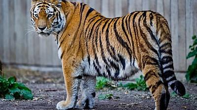 Imaginea zilei: Mascota grădinii zoologice din localitatea Krasnoyarsk a prezis câștigătorul meciului dintre Rusia şi Uruguay