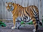 Imaginea zilei: La Grădina Zoologică din Krasnoiarks felinele continuă să prezică meciurile din Cupa Mondială