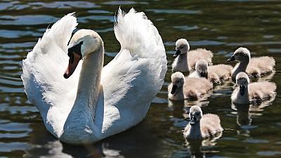 Imaginea zilei: Pe râul Tamisa din Marea Britanie a început recensământul lebedelor. Puii păsărilor vor fi cântăriţi şi verificaţi de către marcatorii regali