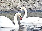 A început recensământul lebedelor de pe râul Tamisa din Marea Britanie. Marcatorii regali vor cântări şi vor examina toate păsările