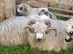 FOCAR de pestă ovină în Bulgaria. Pentru a opri răspândirea bolii, peste 4.000 de oi şi capre vor fi sacrificate