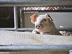 Culmea iresponsabilităţii! Doi porci bolnavi de pestă porcină africană, găsiți morți pe marginea unui drum din apropierea orașului Vulcănești