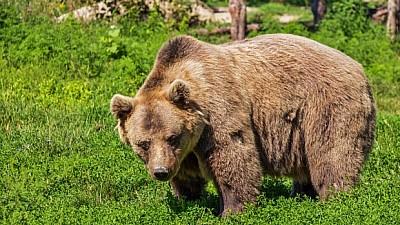 Un urs a provocat panică în oraşul Miercurea Ciuc. Animalul a hoinărit pe străzi timp de 12 ore şi a îngrozit trecători