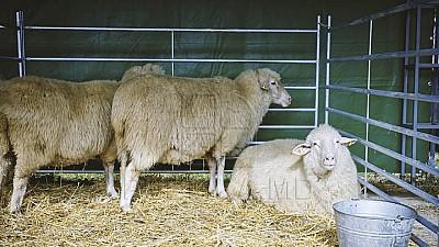 Vis împlinit! Un bărbat din satul Corten a adus în ţară o rasă franceză de ovine