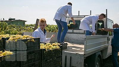 O vinărie a donat două tone de struguri studenţilor de la Universitatea Tehnică din Moldova (FOTOREPORT)