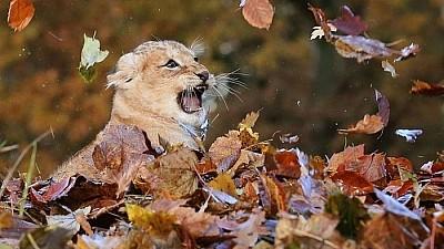 Imaginea zilei: Doi lei asiatici de la o menajerie din Londra marchează schimbarea anotimpului și se joacă printre mormanele de frunze, aranjate de îngrijitori