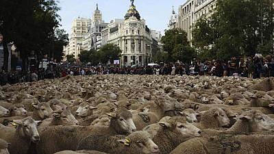Imaginea zilei: Sărbătoarea Transhumanţei la Madrid. Din ce cauză mii de oi traversează anual capitala Spaniei pentru a ajunge în ţinutul rural din sudul ţării