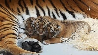 Imaginea zilei: Trei pui de tigru bengalez au venit pe lume într-un parc de tip safari din Crimeea