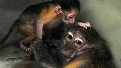 Imaginea zilei: Un pui de maimuță de la o menajerie din Budapesta, nu se dezlipește de mama lui